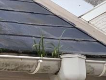 雨樋に雑草