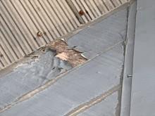 スレート屋根の塗膜の剥がれ
